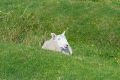Schapen op het gras Royalty-vrije Stock Fotografie