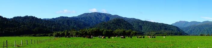 Schapen op het gras Nieuw Zeeland stock foto
