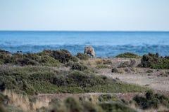 Schapen op het gras van Patagonië en overzeese achtergrond royalty-vrije stock afbeelding