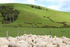 Schapen op het landbouwbedrijf royalty-vrije stock foto
