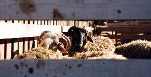 Schapen op het landbouwbedrijf Stock Foto