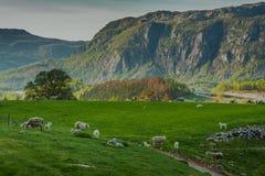 Schapen op het mooie weiland in Noorwegen Stock Afbeeldingen