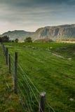 Schapen op het mooie weiland in Noorwegen Royalty-vrije Stock Foto