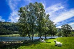 Schapen op het mooie weiland in Noorwegen Stock Afbeelding