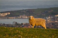 schapen op heuvelbovenkant met avondzon Royalty-vrije Stock Fotografie
