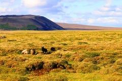 Schapen op weiland dichtbij Hvitarnes-hut, IJsland stock fotografie