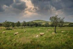 Schapen in platteland stock foto's