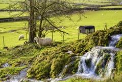 Schapen in platteland stock afbeeldingen