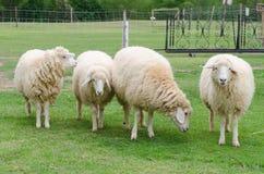 Schapen in schapenlandbouwbedrijf Royalty-vrije Stock Afbeelding