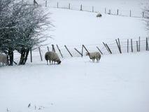 Schapen in sneeuw Stock Foto