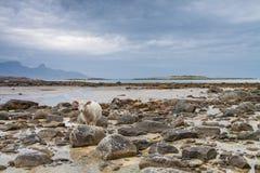 Schapen tussen de rotsen tijdens een lowtide in Noordelijk Noorwegen Stock Afbeeldingen