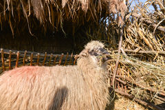 Schapen van kudde worden geïsoleerd die hooi binnen schapenlandbouwbedrijf dat eten Royalty-vrije Stock Afbeelding