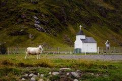 Schapen voor Unstad-Kapel op Lofoten-Eilanden, Norways Royalty-vrije Stock Afbeelding