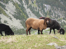 Schapen Willow Mountain Alp Grazing Stock Fotografie