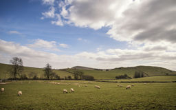 Schapendieren in landbouwbedrijflandschap op zonnige dag in Piekdistrict het UK Stock Foto