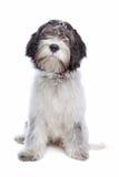 Schapendoes, chien de berger hollandais Photographie stock libre de droits