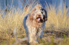 Schapendoes dog on beach Royalty Free Stock Images
