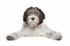 Schapendoes , Dutch Sheepdog Stock Image