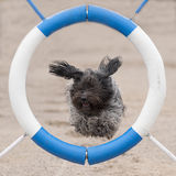 Schapendoes jumps through agility ring Royalty Free Stock Photos