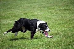 Schapenhond of Border collie, ook als een Schotse Herdershond, met distinctieve zwart-witte laag wordt bekend, die over gras bij  royalty-vrije stock foto