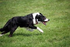 Schapenhond of Border collie, ook als een Schotse Herdershond, met distinctieve zwart-witte laag wordt bekend, die over gras bij  stock afbeeldingen