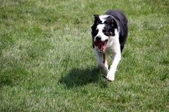 Schapenhond of Border collie, ook als een Schotse Herdershond, met distinctieve zwart-witte laag wordt bekend, die over gras naar stock foto