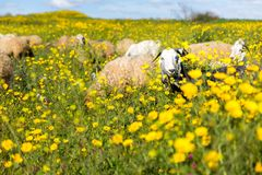 Schapenkudde het weiden tot bloei komend bloemengebied Royalty-vrije Stock Foto's