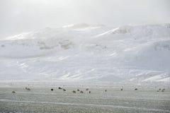 Schapenlandbouwbedrijf op de winter Stock Afbeeldingen