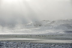 Schapenlandbouwbedrijf op de winter Stock Foto's
