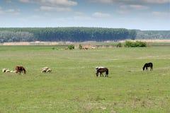 Schapenpaarden en koeien Stock Foto's
