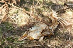 Schapenskelet die op een bed van droog gras diep in een bos leggen royalty-vrije stock foto