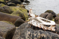Schapenskelet op strand Royalty-vrije Stock Afbeeldingen