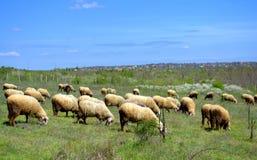 Schapentroep het weiden in het de lenteweiland Stock Foto