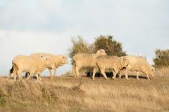 Schapentroep op het grasachtergrond van Patagonië Royalty-vrije Stock Foto