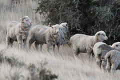 Schapentroep op het grasachtergrond van Patagonië stock afbeelding