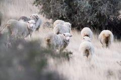 Schapentroep op het grasachtergrond van Patagonië stock foto