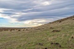 Schapentroep op het grasachtergrond van Patagonië Stock Afbeeldingen