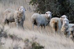 Schapentroep op het grasachtergrond van Patagonië stock fotografie