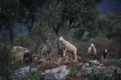Schapentroep in Turkije stock foto's