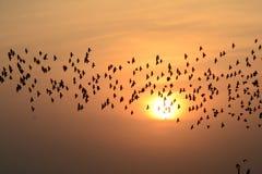 SCHAREN VON VON VÖGELN IM ABEND-HIMMEL BIKANER Rajasthan Stockbild