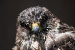 Scharf-hinaufgekletterter Abschluss des Falken oben Stockbild