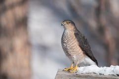 Scharf-hinaufgekletterter Falke Stockbild
