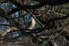 Scharf-hinaufgeklettertes Hawk Accipiter-striatus Stockbild