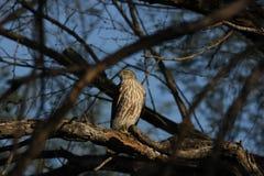 Scharf-hinaufgeklettertes Hawk Accipiter-striatus Lizenzfreie Stockbilder