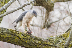 Scharf-shinned Falke Stockfotografie