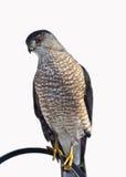 Scharf-Shinned Falke (Accipiter striatus) Lizenzfreie Stockbilder