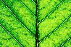 Scharfe Nahaufnahme eines grünen Blattes Stockfotografie
