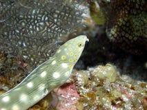 Scharfer angebundener Aal Stockbilder
