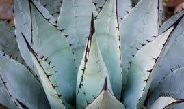 Scharfer Kaktus Lizenzfreie Stockfotografie