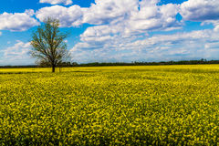 Scharfer Weitwinkelschuß des schönen hellen gelben blühenden Feldes der Canola-Anlagen mit Wolken und blauem Himmel. Lizenzfreies Stockbild